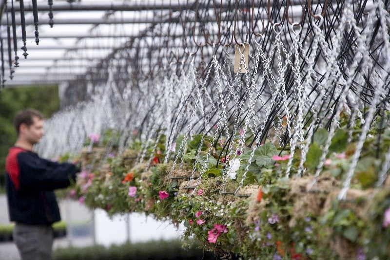 Hanging basket production at Nurture's Lancashire nursery