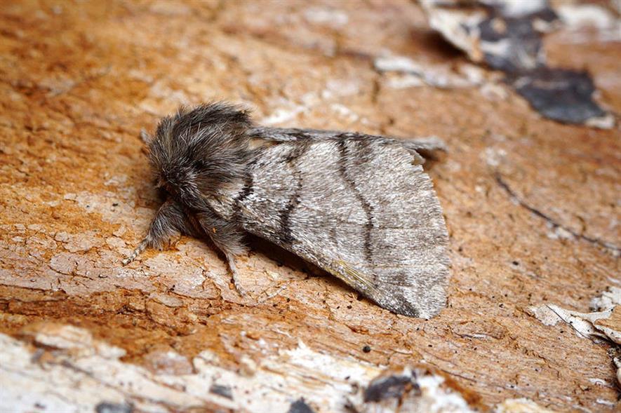 Oak Processionary Moth - image: Flickr/Ben Sale