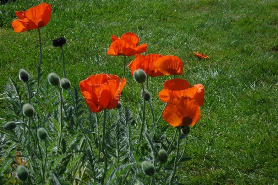 Poppies. Image: MorgueFile