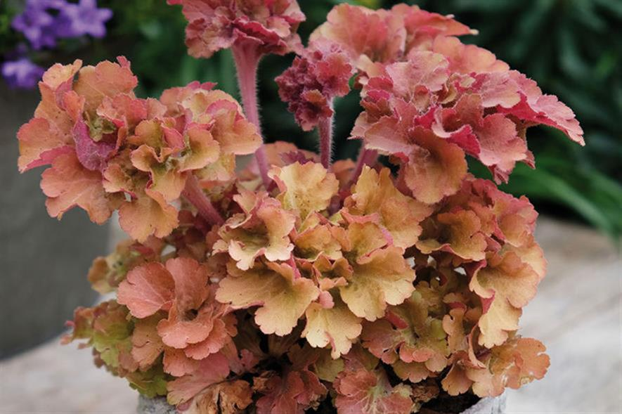 Heuchera 'Frilly': among top tips for new plants in 2021 - credit: Seiont Nurseries