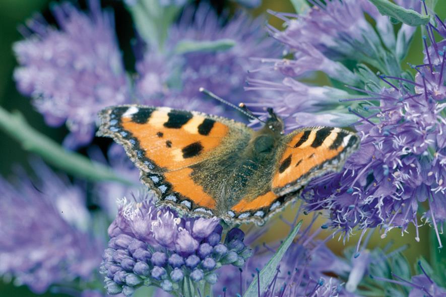 C. × clandonensis 'Kew Blue' - image: Floramedia