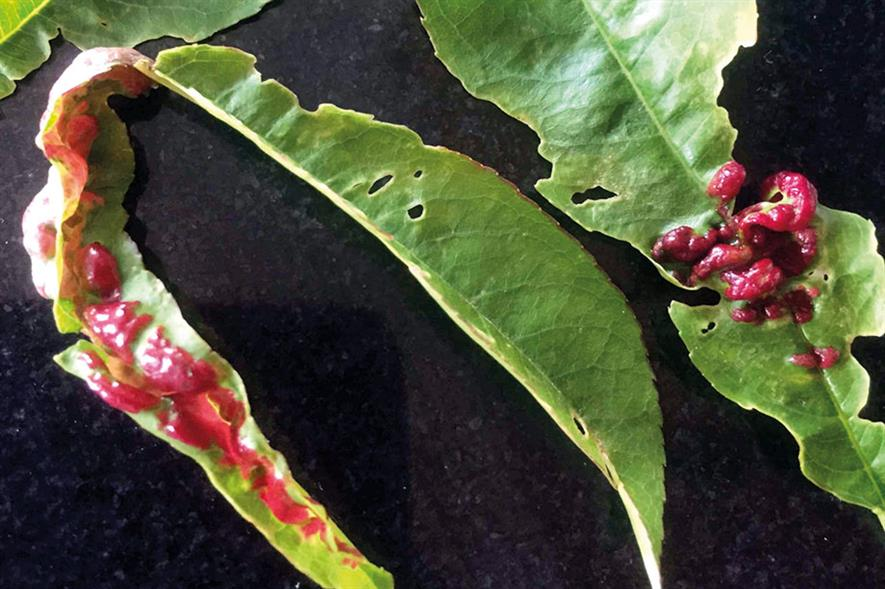 Peach leaf curl - image: Dove Associates