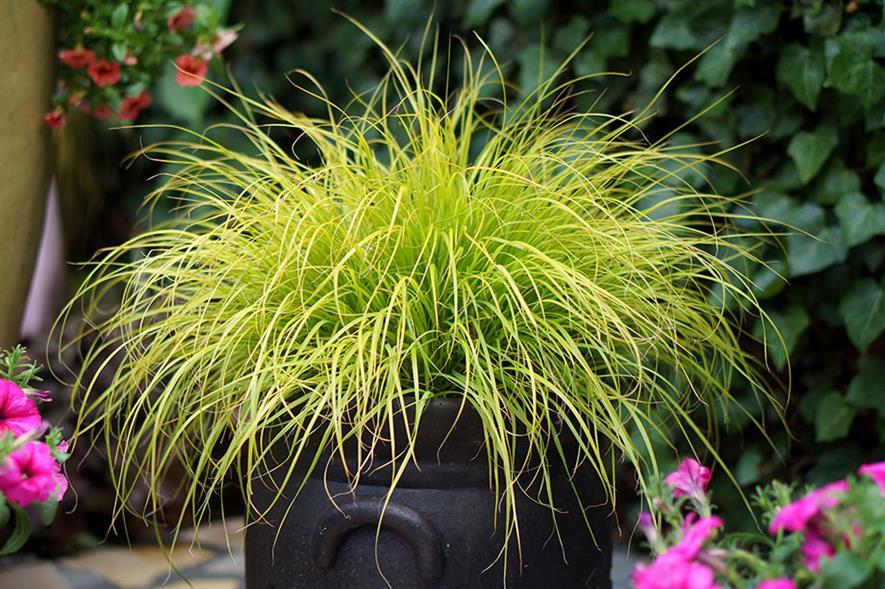 Pennisetum Lumen Gold - credit all pics: Plantipp