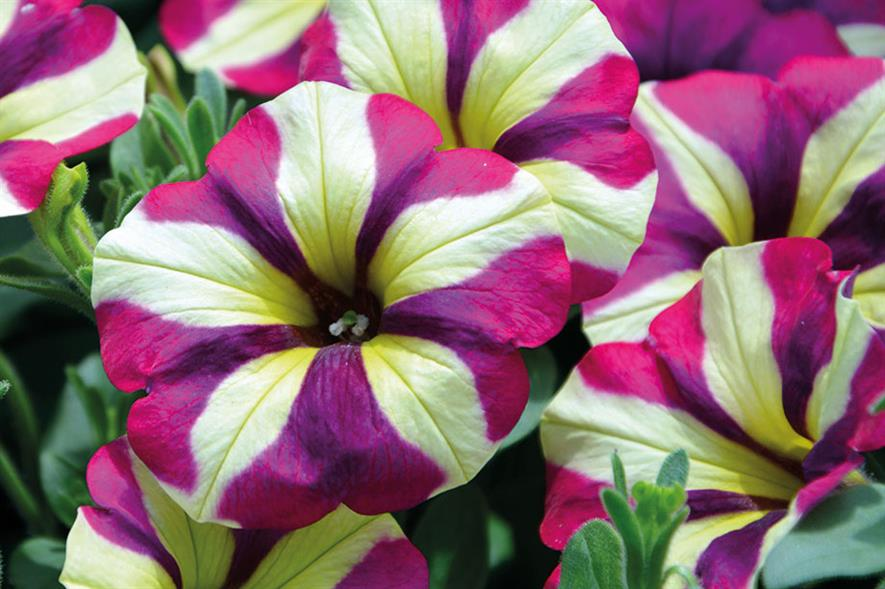Petunia 'Purple Cream' - image: Kernock Plants