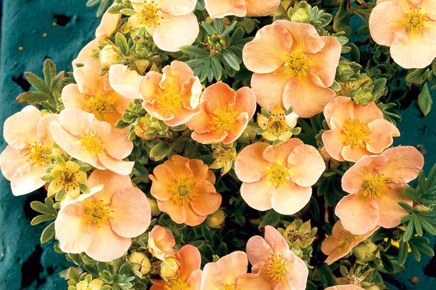 Potentilla fruticosa 'Daydawn'- image: Floramedia