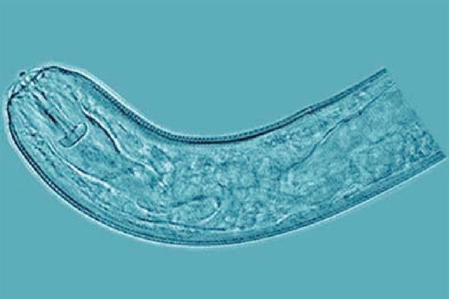 A nematode of genus Pratylenchus - image: USDA