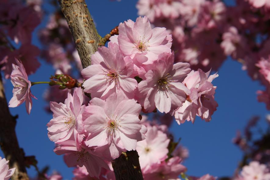 Prunus Beni Yutaka
