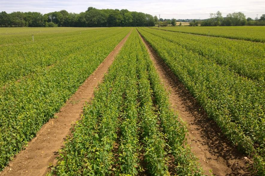 Growing young blackthorn hedging plants (Prunus spinosa) in Warwick - credit: J & A Growers