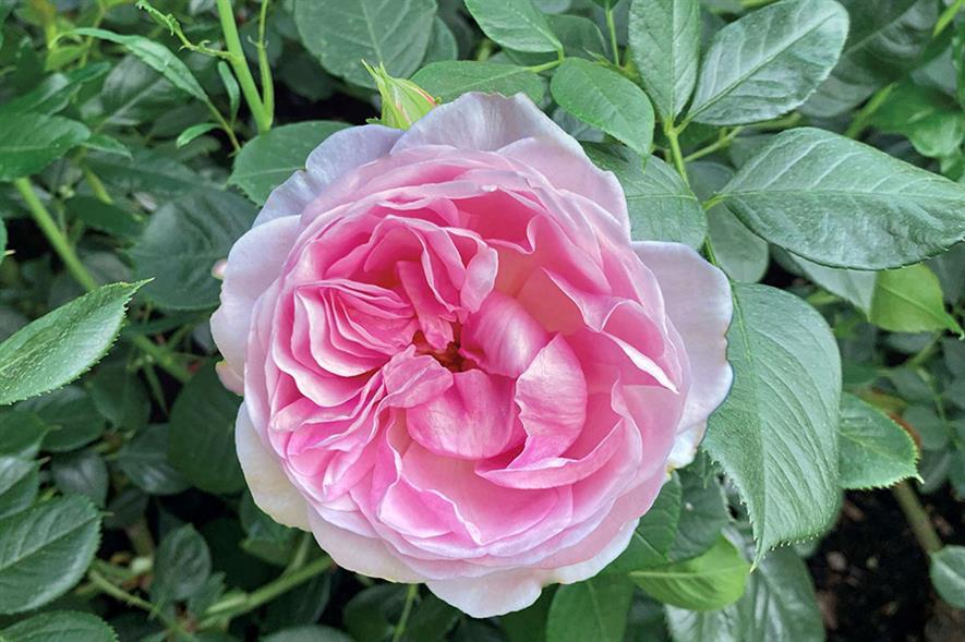 Queen Elizabeth II Rose - credit: Harkness Roses