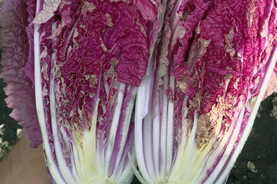 New red Chinese cabbage has potential raw or cooked, says