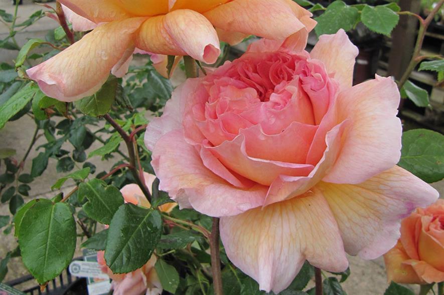 Rose 'Abraham Derby' - image: Flickr/Leonora (Ellie) Enking (CC BY-SA 2.0)