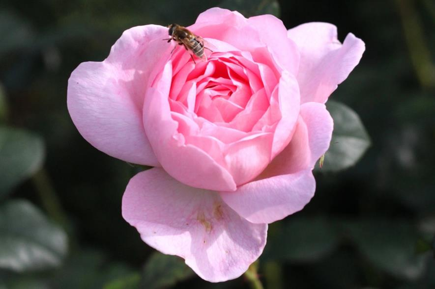 One of 2,000 roses at Rosemoor. Image: umbrellahead56/Flickr (CC BY 2.0)
