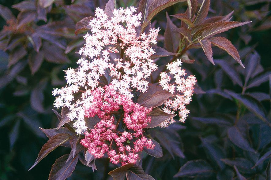 Sambucus nigra f. porphyrophylla 'Gerda' (PBR) syn.  - all images: Floramedia