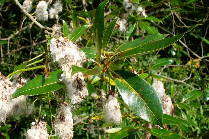 Salix pentandra - image: Malte (CC BY 3.0)