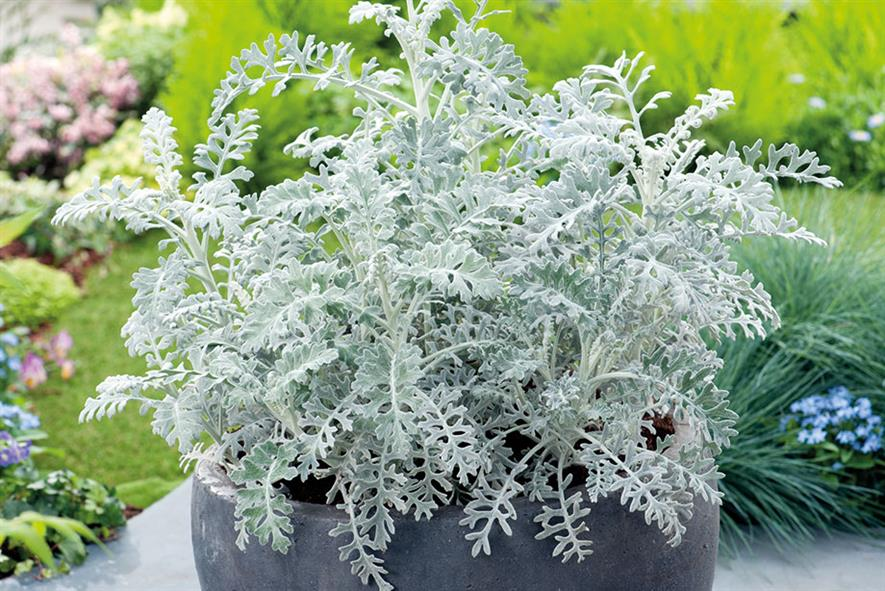 S. cineraria 'Silver Dust' - all images: Floramedia