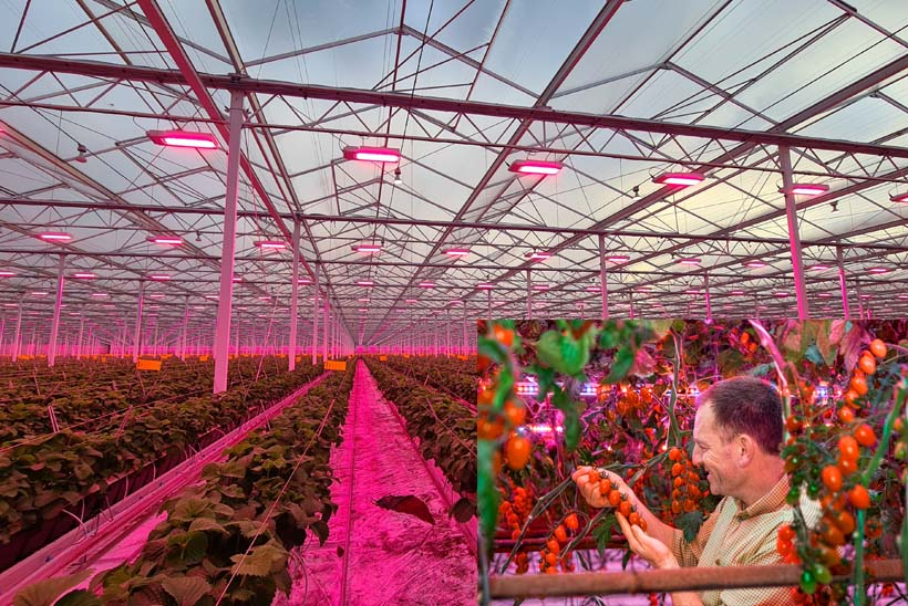 Signify's LED grow lighting in use at Dutchberries; inset: Andy Roe, production manager, FlavourFresh