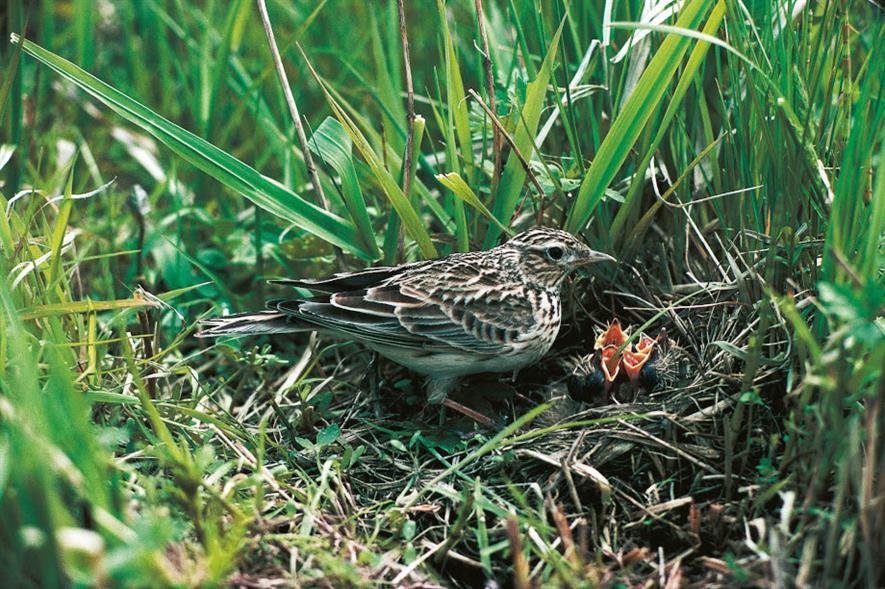 Skylark nesting near the ground - credit: HS2