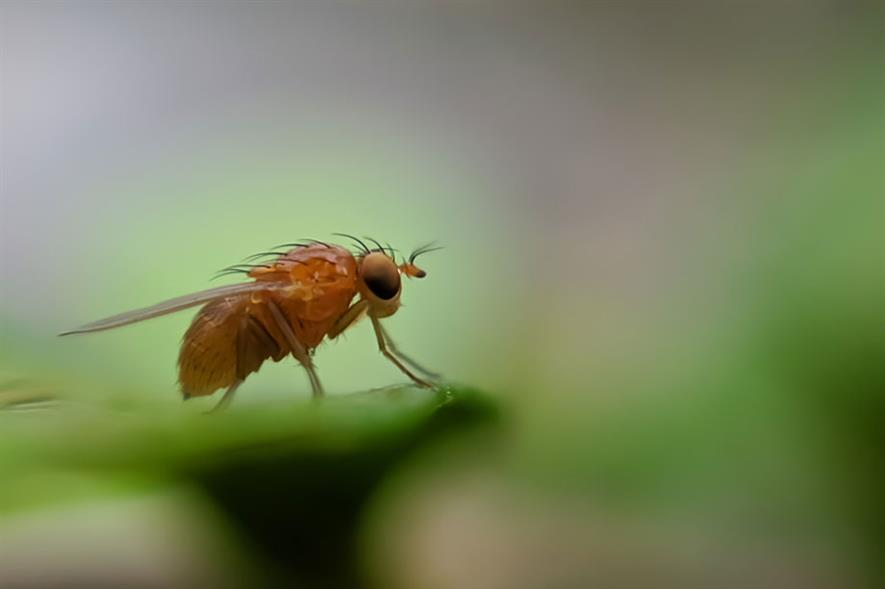Spotted winged Drosophila suzukii