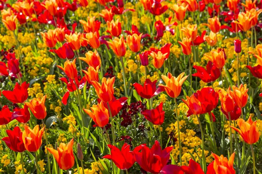 Tulips can tell a historical story to visitors. Image: National Trust Images/James Dobson