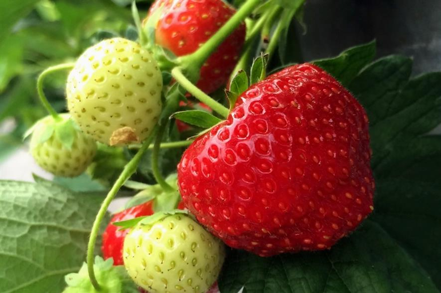 New fungicide authorised for use on protected strawberries