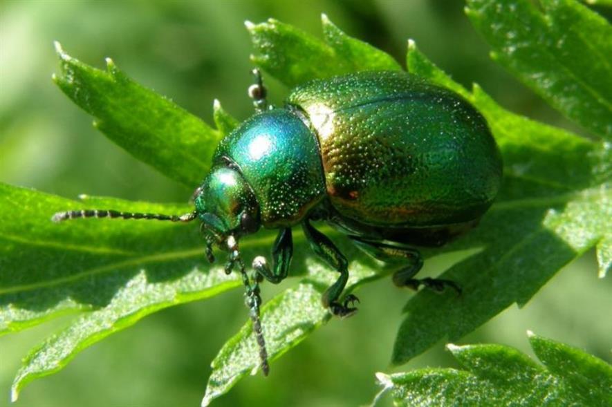 Tansy beetle. Image: Steven Falk