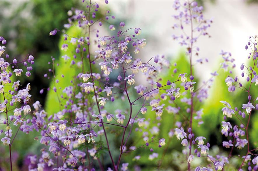 Thalictrum delavayi - all images: Floramedia
