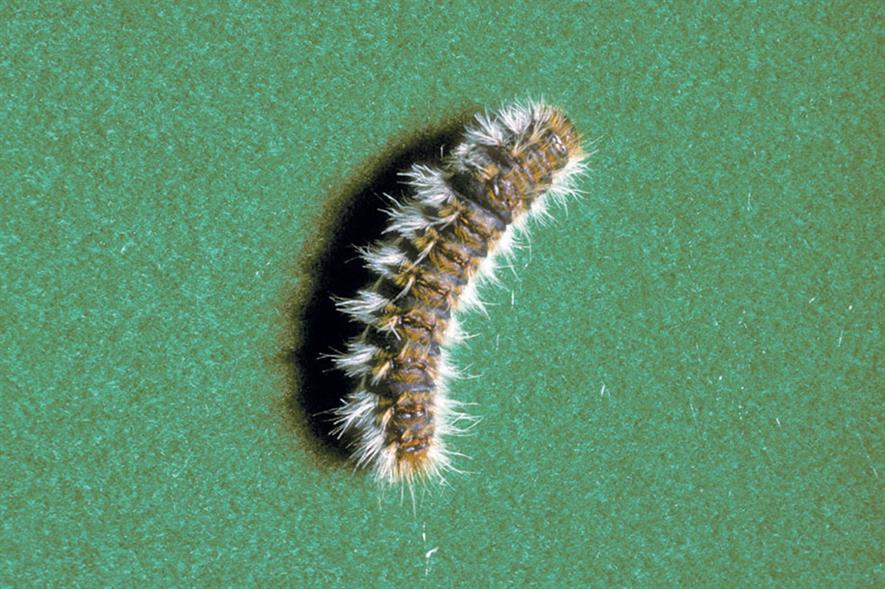 Caterpillar hairs pose health threats - credit: © Crown Copyright/Fera