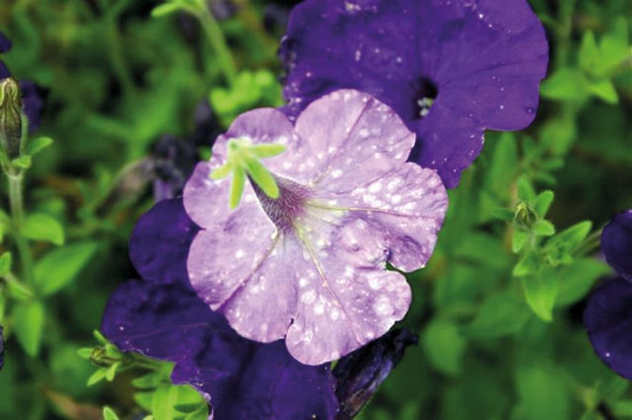 Thrips damage on petunia - image: Dove Associates