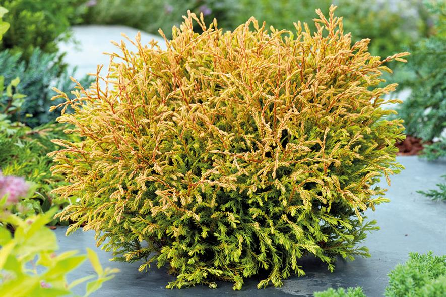 T. occidentalis 'Golden Tuffet' - all images: Floramedia