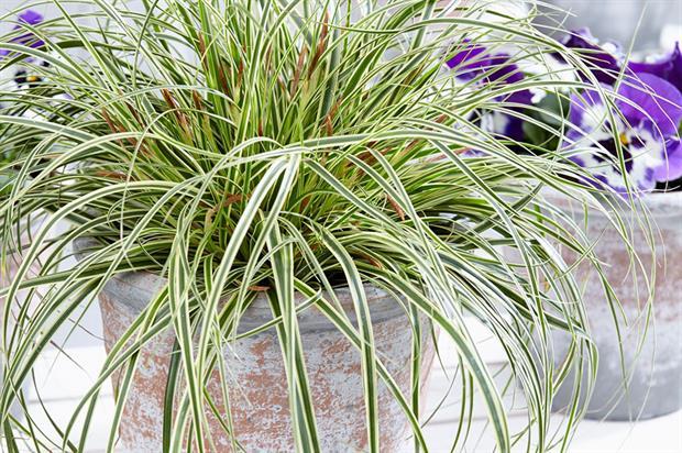 Fitzgerald Carex