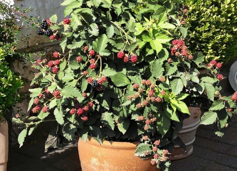 TinyBlack blackberry - credit: Plants365