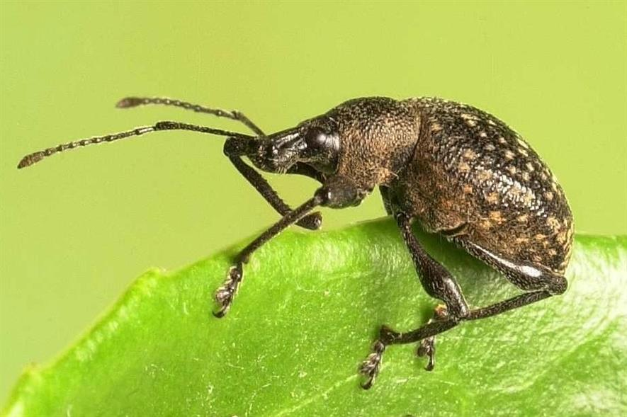 Vine weevil - credit: ICL
