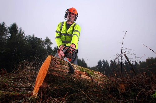 A KM Morris contractor saws infected larch trunk at Wentwood Forest - image:PA/Geoff Caddick
