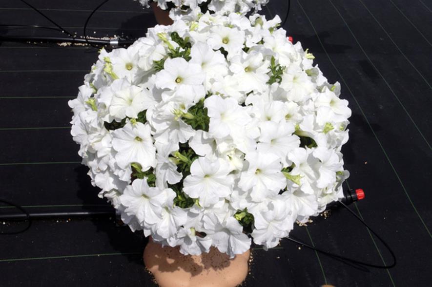 Surfinia 'White Morn' - image: Sakata