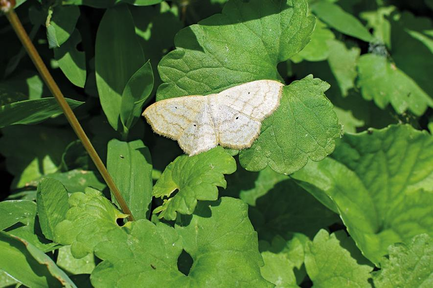 Winter moth - image: Pixabay