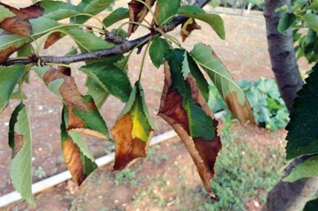 Xylella fastidiosa: marginal leaf scorch features among symptoms of plant disease - Credit: Antonio Guario, Plant Protection Service, Regione Puglia and EFSA