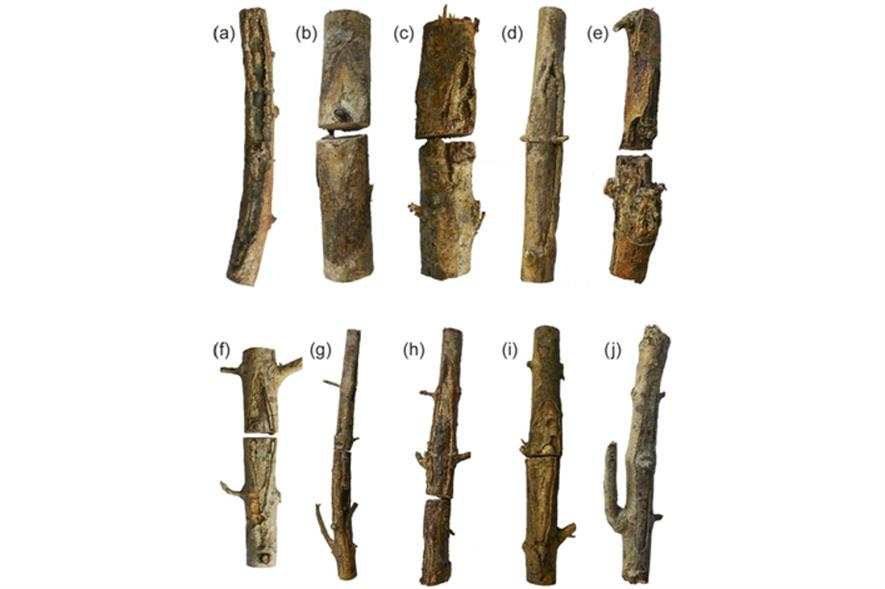 Samples of ash having succumbed to ADB as long ago as 2007 - image: Crown Copyright