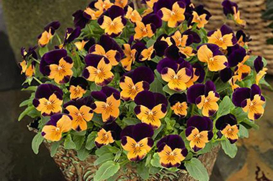 Viola Admire 'Orange Purple Wing' - image: Benary