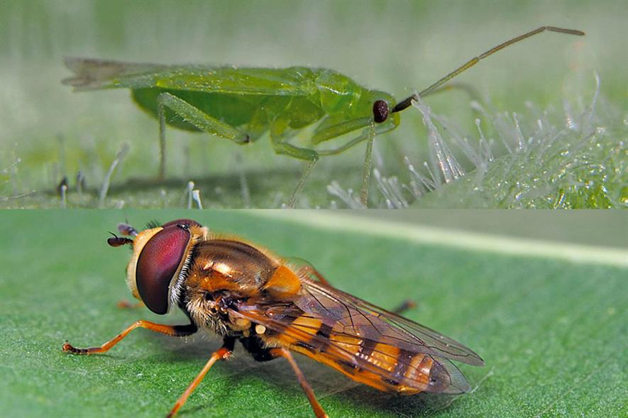 Macrolophus pygmaeus (above) used against whitefly and Tuta absoluta while larvae of Eupeodes corollae hoverfly (below) predates on aphids, whiteflies and mealybugs - credit: Biobest/ICL