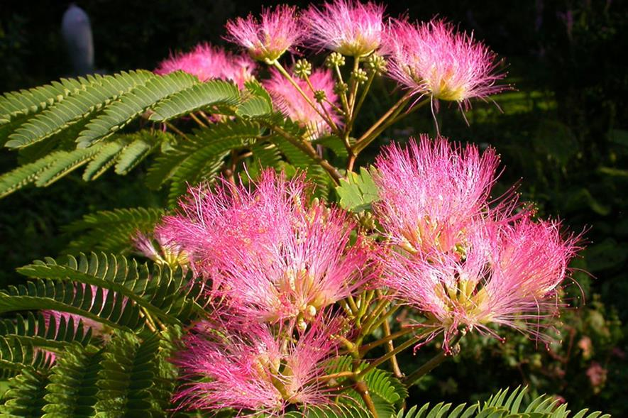 Albizia julibrissin 'Pos 1' (Tropical Dream) - image: Van Vliet New Plants