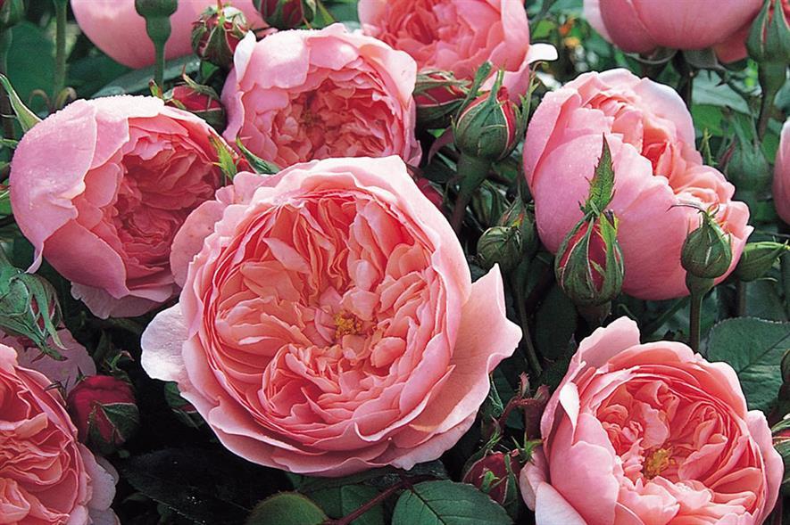 Alnwick Rose - credit: David Austin Roses