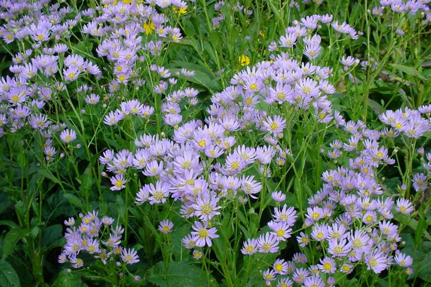 Asters. Image: MorgueFile