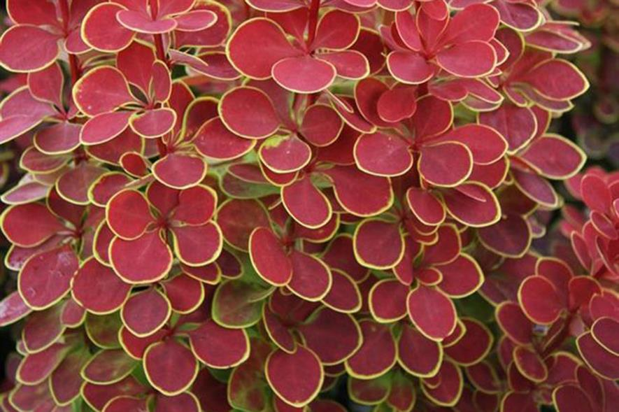 Berberis thunbergii Orange Sunrise - image: Seiont Nurseries