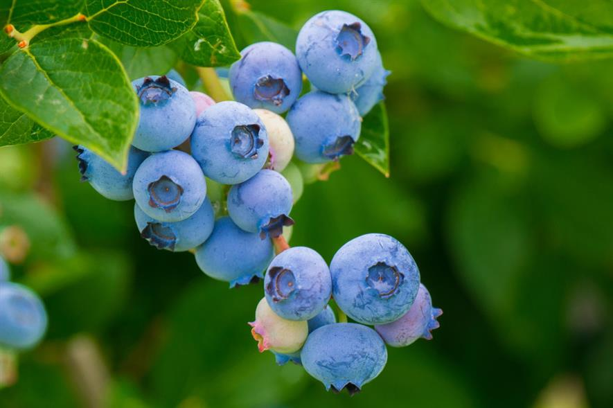 Blueberry production in the UK has grown from 281 tonnes in 2008 to 2,666 tonnes in 2018 - credit: Pixabay