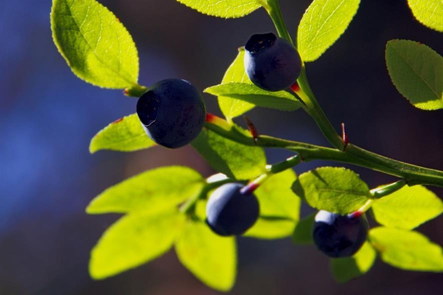 Bilberries - image: Arto Huotari (CC BY-SA 2.0)