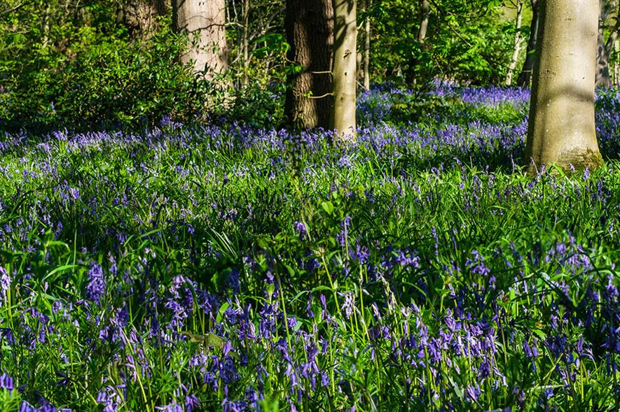 Bluebells at the National Trust's Beningborough Hall - image: Flickr/alh1 (CC by ND 2.0)
