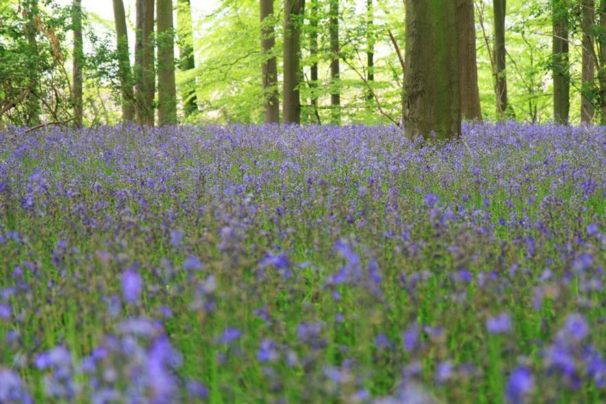 Bluebells in woodland. Image: Pixabay