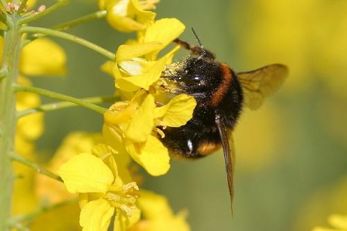 Bumblebee on oilseed rape - image:Dean Morley