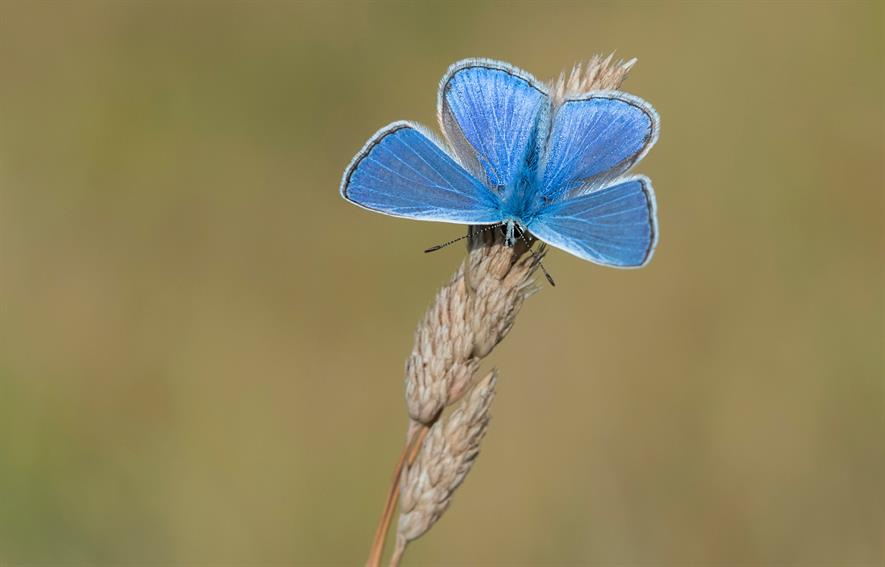 Common Blue c.Bob Eade