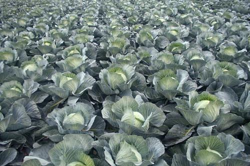 Field vegetables - image:HW
